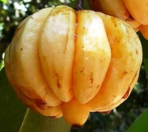 Plexus Garcinia Cambogia Extract